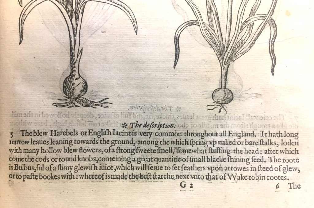 "1597 edition of Gerard's Herbal: ""The blue Harebells or English Hyacinth"""
